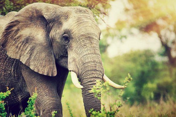 Azamara Pursuit South Africa Elephant