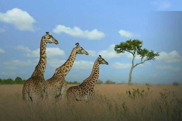Azamara Pursuit South Africa Giraffes